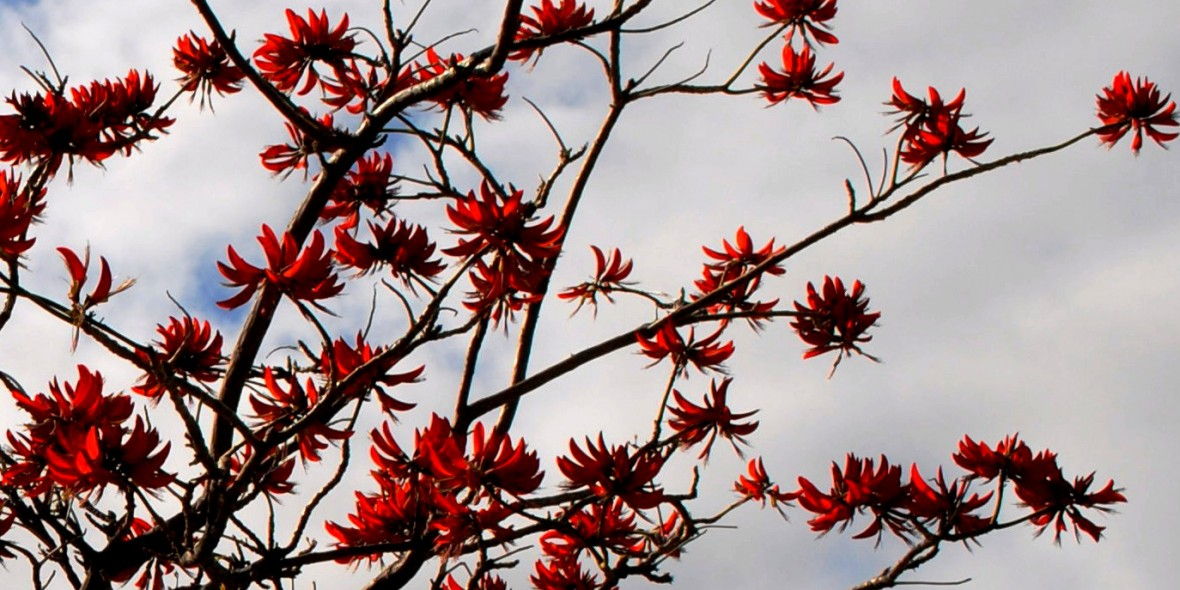 red tree flowers |medivate connected